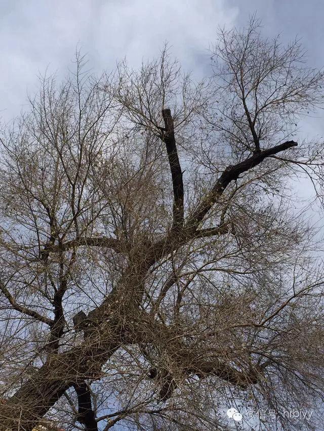 哈尔滨三棵树的过去与现在
